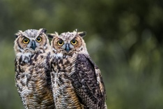 Back Yard Horned Owls